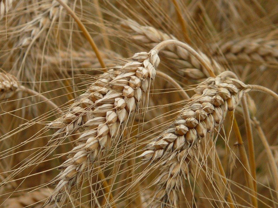 Украина экспортировала рекордное количество ржи